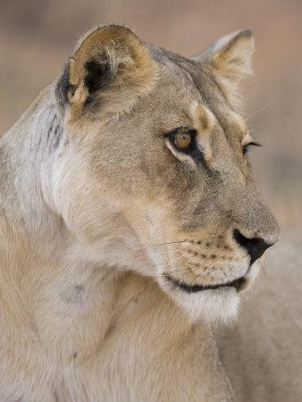 Lioness (Panthera Leo), Kgalagadi Transfrontier Park, South Africa, Africa-Ann & Steve Toon-Photographic Print