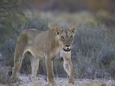Lioness (Panthera Leo), Kgalagadi Transfrontier Park-James Hager-Photographic Print