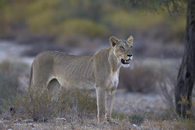 Lioness (Panthera Leo), Kgalagadi Transfrontier Park-James Hager-Photographic Print