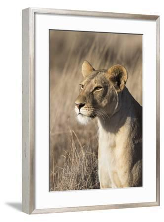 Lioness (Panthera Leo), Lewa Wildlife Conservancy, Laikipia, Kenya, East Africa, Africa-Ann and Steve Toon-Framed Photographic Print