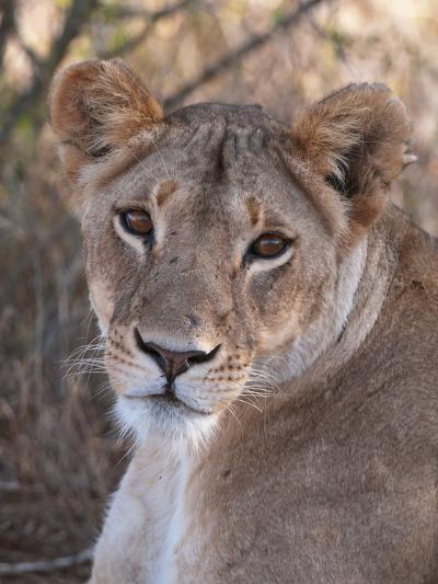 Lioness (Panthera Leo), Loisaba Wilderness Conservancy, Laikipia, Kenya, East Africa, Africa-Sergio Pitamitz-Photographic Print