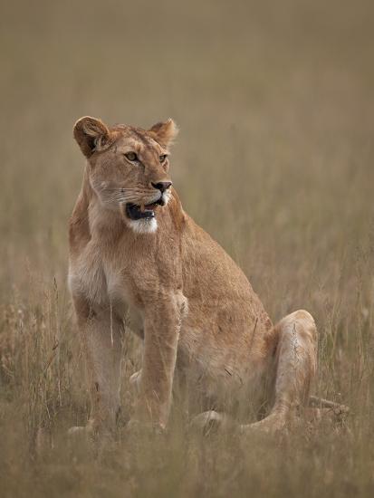 Lioness (Panthera Leo), Serengeti National Park, Tanzania, East Africa, Africa-James Hager-Photographic Print