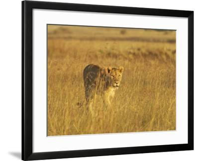 Lioness (Panthera Leo) Walking Through Tall Grass, Masai Mara National Reserve, Kenya-James Hager-Framed Photographic Print