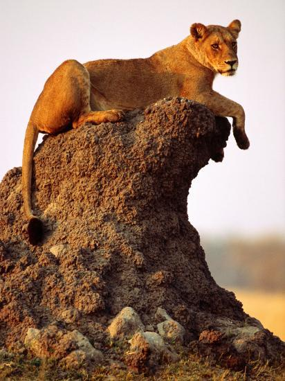 Lioness (Panthera Leo) Watching Surroundings from Termite Mound-Andrew Parkinson-Photographic Print