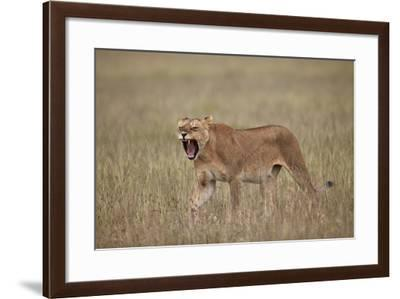 Lioness (Panthera Leo) Yawning in Tall Grass-James Hager-Framed Photographic Print