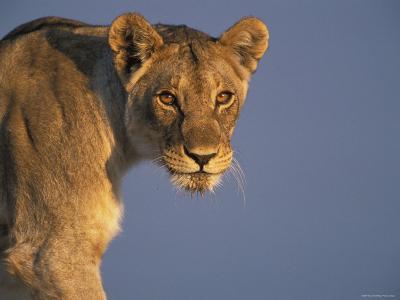Lioness Portrait, Etosha National Park, Namibia-Tony Heald-Photographic Print