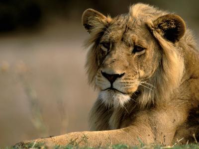 Lioness, Rare Maned Female, Okavango Delta, Botswana-Pete Oxford-Photographic Print