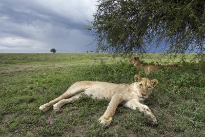 Lioness Resting on Savanna--Photographic Print