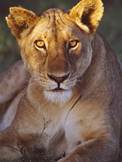 Lioness Tanzania Africa--Photographic Print