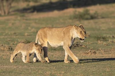 Lioness with Cub (Panthera Leo), Kgalagadi Transfrontier Park, Northern Cape, South Africa, Africa-Ann & Steve Toon-Photographic Print