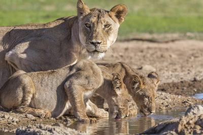 Lioness with Cubs (Panthera Leo) at Water, Kgalagadi Transfrontier Park, Northern Cape, Africa-Ann & Steve Toon-Photographic Print