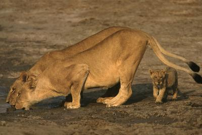 Lionesses and Cub at Water Hole-DLILLC-Photographic Print