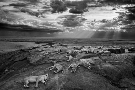 Lionesses and cubs from the Vumbi lion pride rest on a kopje, a rocky outcrop.-Michael Nichols-Photographic Print
