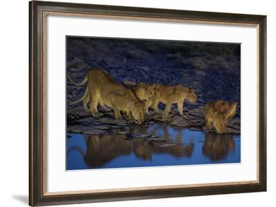 Lionesses and Cubs of the Vumbi Pride Drink from a Shrinking Waterhole-Michael Nichols-Framed Photographic Print