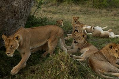 https://imgc.artprintimages.com/img/print/lionesses-and-cubs-of-the-vumbi-pride-rest-in-the-plains_u-l-psvy1w0.jpg?p=0