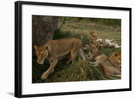 Lionesses and Cubs of the Vumbi Pride Rest in the Plains-Michael Nichols-Framed Photographic Print
