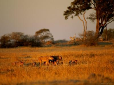 Lionesses and Their Cubs Make a Joyful Sight as They Gambol Across the Golden Savannah--Photographic Print
