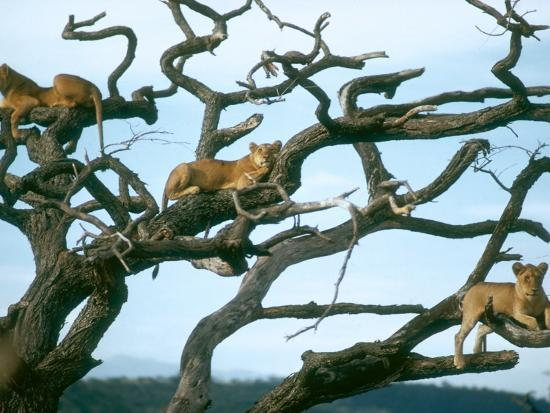Lionesses in Dead Acacia Tree, Tanzania-Mary Plage-Photographic Print