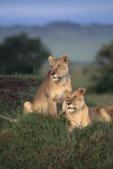 Lionesses in Grass-DLILLC-Photographic Print