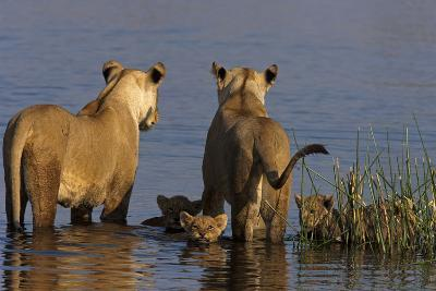 Lionesses Looking across a Spillway While Cubs Swim Between Them-Beverly Joubert-Photographic Print