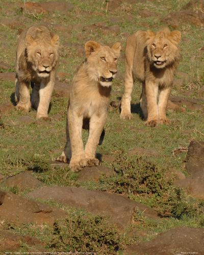 Lionesses on the Hunt Full Bleed-Martin Fowkes-Giclee Print