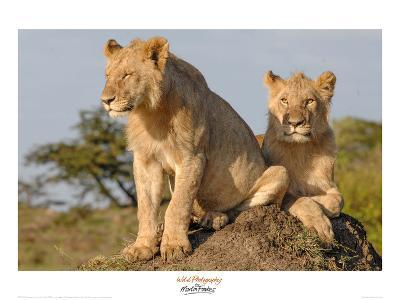 Lionesses on the Look Out-Martin Fowkes-Giclee Print