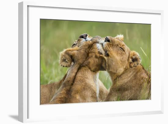 Lionesses (Panthera Leo) Grooming Each Other, Masai-Mara Game Reserve, Kenya-Denis-Huot-Framed Photographic Print