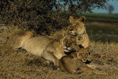 Lionesses, Panthera Leo, With Cubs Resting In Botswana's Okavango Delta-Beverly Joubert-Photographic Print