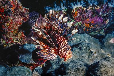 Lionfish at Daedalus Reef (Abu El-Kizan), Red Sea, Egypt-Ali Kabas-Photographic Print