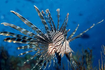 Lionfish or Turkeyfish (Pterois Volitans), Indian Ocean.-Reinhard Dirscherl-Photographic Print