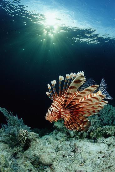 Lionfish or Turkeyfish (Pterois Volitans), Indonesia.-Reinhard Dirscherl-Photographic Print
