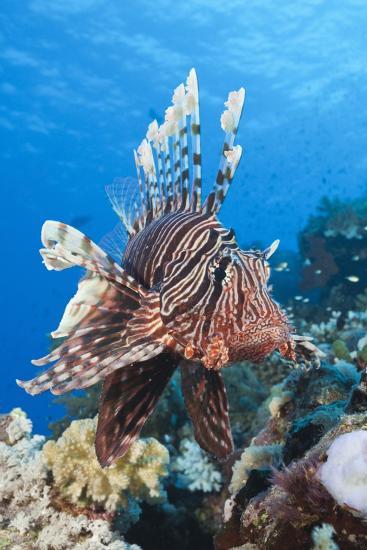 Lionfish (Pterois Miles)-Reinhard Dirscherl-Photographic Print