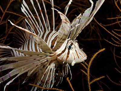 Lionfish (Pterois Volitans) Swimming in Black Coral, Philippines-David Fleetham-Photographic Print