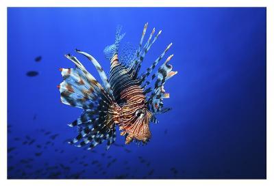 Lionfish-Barathieu Gabriel-Giclee Print