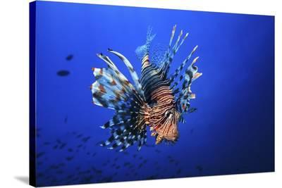 Lionfish-Barathieu Gabriel-Stretched Canvas Print