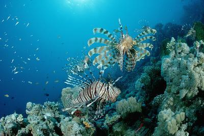 Lionfishes or Turkeyfishes near a Coral Reef (Pterois Volitans), Indian Ocean.-Reinhard Dirscherl-Photographic Print