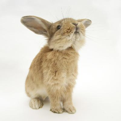 Lionhead-Cross Rabbit, Sniffing-Mark Taylor-Photographic Print