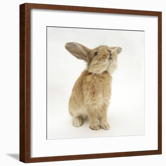 Lionhead-Cross Rabbit, Sniffing-Mark Taylor-Framed Photographic Print
