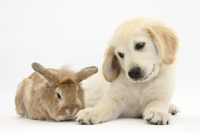 Lionhead Cross Rabbit, Tedson, and Golden Retriever Dog Puppy, Oscar, 3 Months-Mark Taylor-Photographic Print