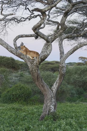 Lionness Lies in an Acacia, Ngorongoro Conservation Area, Tanzania-James Heupel-Photographic Print