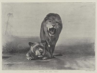Lions at the Zoo--Giclee Print