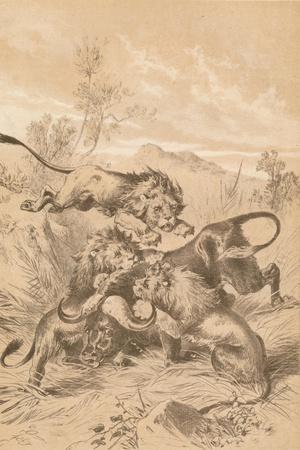 Lions Attacking A Buffalo, c1880--Giclee Print