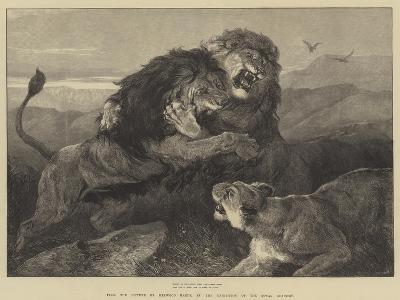 Lions Fighting--Giclee Print