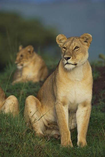 Lions in Grass-DLILLC-Photographic Print