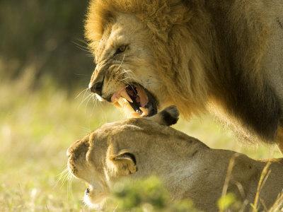 https://imgc.artprintimages.com/img/print/lions-lion-pair-mating-masai-mara-kenya_u-l-q10qzgk0.jpg?p=0