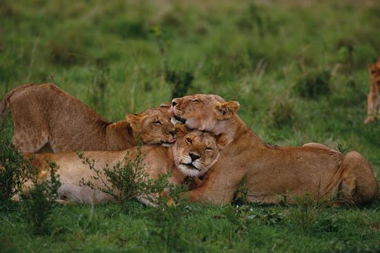 Lions Lounging in Grass-DLILLC-Photographic Print