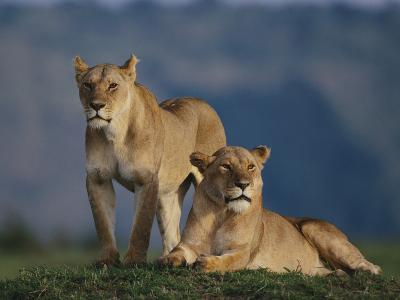 Lions Lying in Grass-DLILLC-Photographic Print