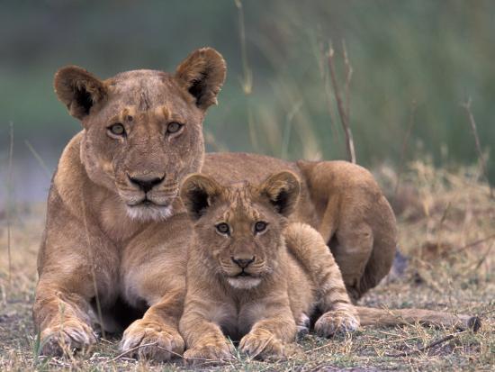 Lions, Okavango Delta, Botswana-Art Wolfe-Photographic Print