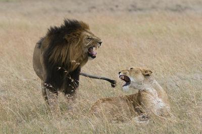 Lions, Panthera Leo, Masai Mara, Kenya-Sergio Pitamitz-Photographic Print