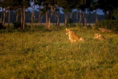 Lions (Panthera Leo) Resting at Sunrise, Masai Mara, Kenya, East Africa, Africa-Andrew Sproule-Photographic Print